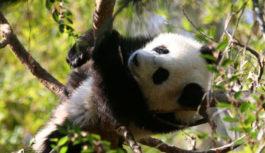 Jestem pandą